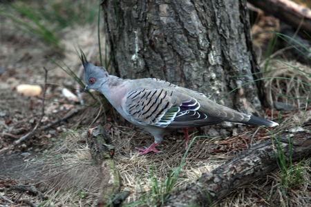 amphibia: crested pigeon