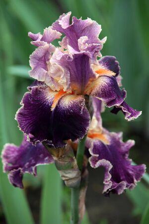 iris flower with rain drops