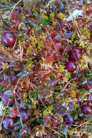 hassock: cranberries on moss bogs Stock Photo