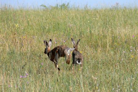 liebre: hare hare fleeing Foto de archivo