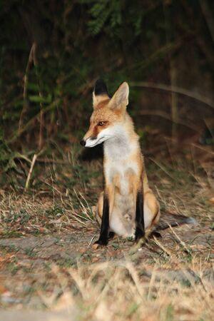 fox beggar
