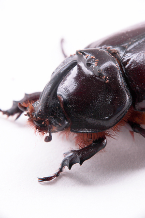 oryctes nasicornis Stock Photo