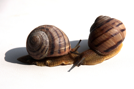 grape snail: Snails Stock Photo