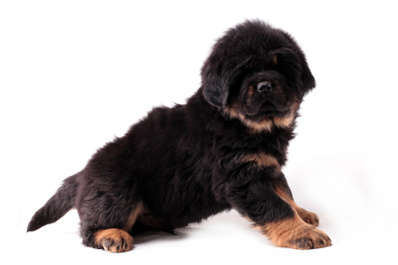 a puppy of a Tibetan mastiff isolated on white