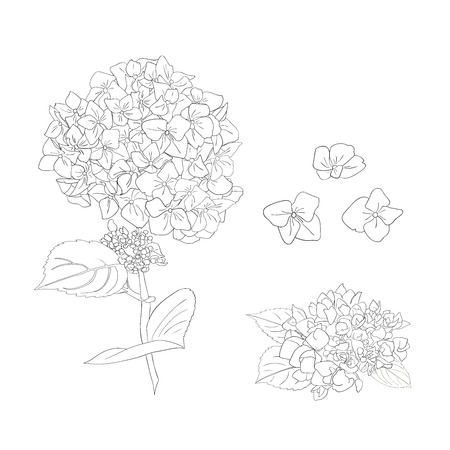 Branch of hydrangea flowers. Set of Isolated florals object on white background. Vector illustration. Editable element for design Ilustração