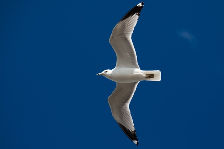dieren: Beautiful seagull flying on the blue sky