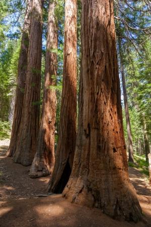 mariposa: Yosemite National Park - Mariposa Grove Redwoods - California Stock Photo