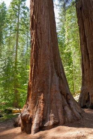 Yosemite National Park - Mariposa Grove Redwoods - California photo