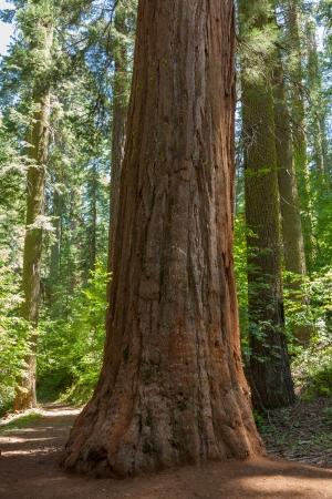 trunk  tree: Parque Nacional de Yosemite - Mariposa Grove Redwoods - California