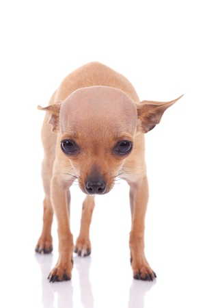chiwawa: Cute little chihuahua baby looking, isolated on white background