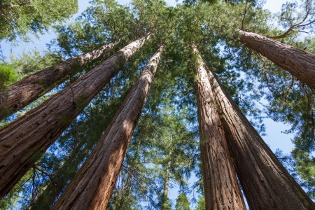 bole: Yosemite National Park - Mariposa Grove Redwoods - California Stock Photo