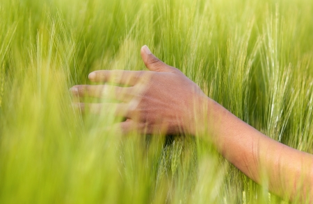 brazilian caribbean: African American hand in wheat field - African people