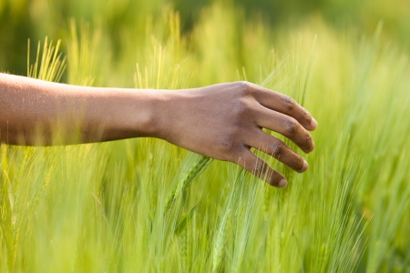agriculture: African American hand in wheat field - African people
