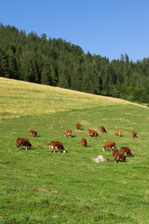 Cows wearing bells are grazing in a beautiful green meadow in the alps photo