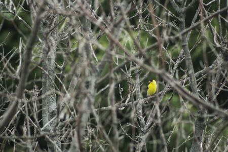 finch: Gold Finch pirched on a branch