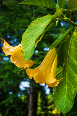 hanging flowers: Big yellow Brugmansia called Angels Trumpets or Datura flowers. Plant with beautiful huge hanging flowers Stock Photo