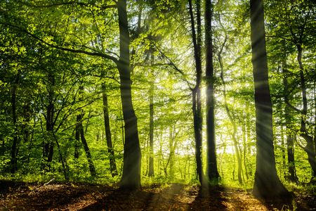 beautiful sunny green forest in the springtime with sunbeams
