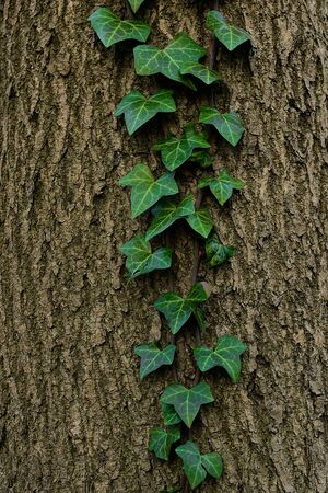 hojas antiguas: green ivy on the old tree bark background