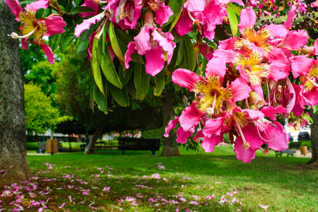 Branch of pink flower tree blossoming in a park in Lisbon. silk floss tree or Ceiba speciosa