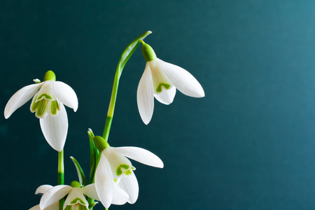 snowdrop flowers on turquoise background. close up