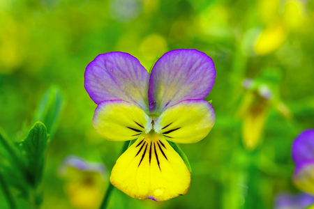 Close up of yellow and purple pansy flower in the springtime. soft focus Stock Photo
