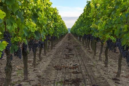 vendanges dans le vignoble bordelais en aquitaine, france. fermer
