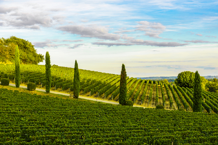 Sunset landscape of bordeaux vineyards in Aquitaine region, France 版權商用圖片 - 113667461