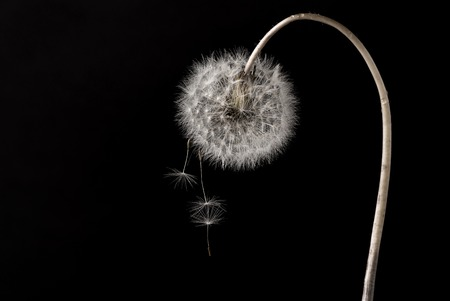 dandelion flower with dandelion seeds falling down on black background. abstract nature concept Banco de Imagens
