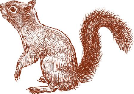 Vector sketch of a curious squirrel.