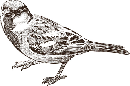Vector drawing of a city sparrow. Çizim