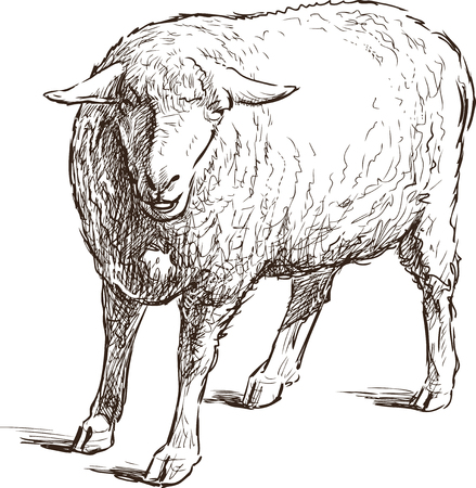 Vector sketch of a young sheep. Çizim