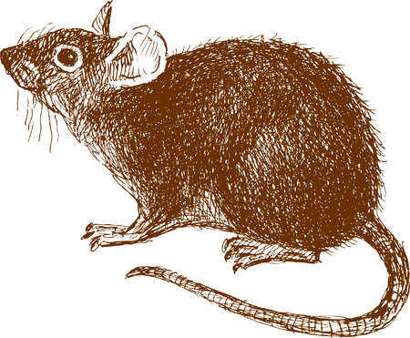 The vector drawing of a rat in style of a sketch. Illustration