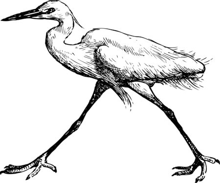 The vector image of a walking bird. Illustration