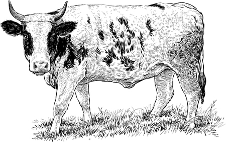 grazed: Vector drawing of the spotted cow walking on the grass. Illustration