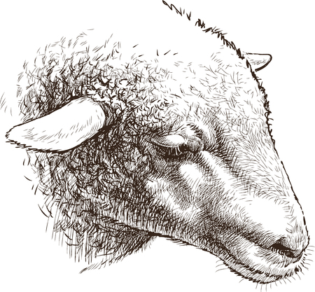 Vector drawing of the head of a sheep. Çizim