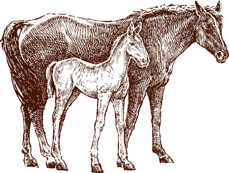 The vector drawing of a horse with a colt.