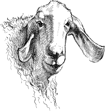 The sketch of the head of an young sheep.