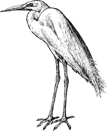 The vector drawing of a heron in style of a sketch.