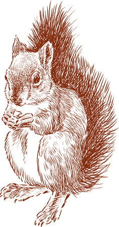 The vector image of a squirrel eating a nut. Çizim