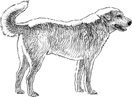 Vector sketch of a golden retriever.