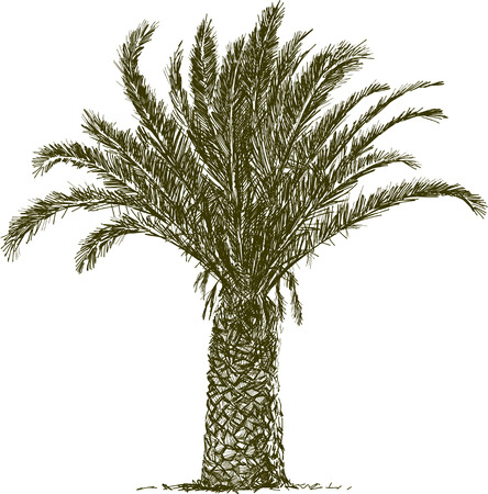 Vector image of a tropical palm tree.