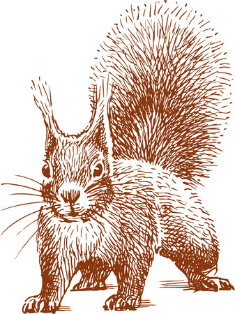 The vector drawing of a squirrel in style of a sketch.