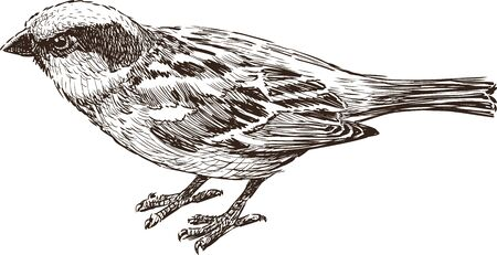 nimble: Vector drawing of a city sparrow. Illustration