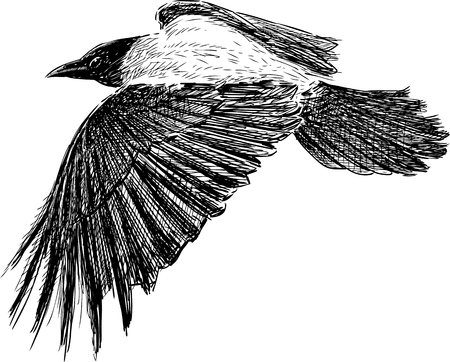 Vector drawing of a flying crow. Vector Illustration