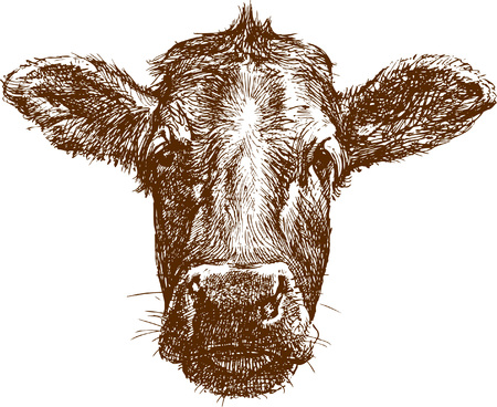 The vector drawing of a face of cow in style of sketch.