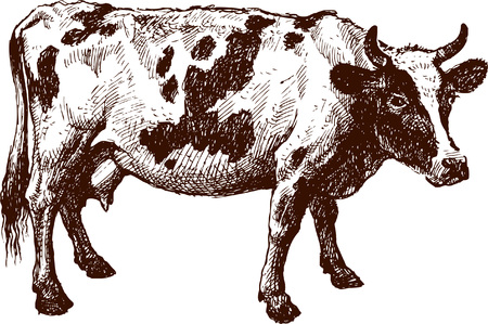 The vector drawing of a cow in style of a sketch.
