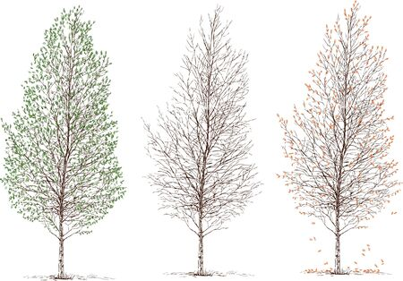 Vector drawing of a birch tree in the different seasons of a year.