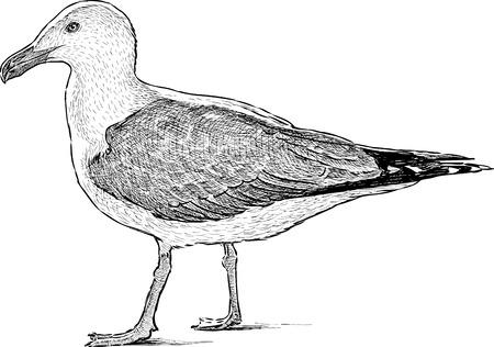 Vector drawing of a big sea gull. Illustration
