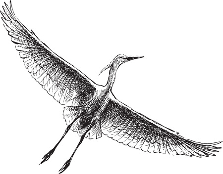 Vector drawing of a flying heron.