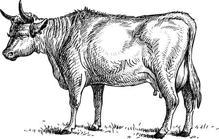 hoofed: Vector sketch of an old cow.